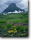 Stock photo. Caption: Lewis and common yellow monkeyflowers Mount Clements from Logan Pass Glacier National Park Rocky Mountains,  Montana -- rockies flowers wildflowers wildflower united states parks subalpine world heritage site sites america flower peaks peak mountain meadow meadows  summer monkeyflower Mimulus lewisii highcountry alpine travel tourist destination destinations holiday