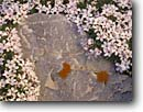 Stock photo. Caption: White phlox Bald Mountain Great Basin National Park Great Basin,  Nevada -- detail details closeup closeup parks mountains united states america background backgrounds artistic nature wildflower wildflowers flower flowers pure clean purity lichen phloxes