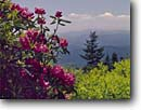 Stock photo. Caption: Catawba rhododendron Waterrock Knob Trail Blue Ridge Parkway Blue Ridge Mountains, North Carolina -- Keywords: united states america landscape landscapes scenic scenics scene spring parks tree trees mountain appalachia appallachian smokies travel destination destinations clear sunny wide open tourist family rhododendrons national park parks ridges native plant