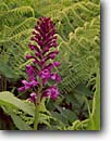 Stock photo. Caption: Small purple fringed orchis Blue Ridge Parkway Blue Ridge Mountains North Carolina -- Keywords: Platanthera psycodes spring parks  mountain appalachia appallachian smokies travel destination destinations tourist family rhododendrons national park native plant plants orchid orchids wild fern ferns flowers flower wildflowers wildflower