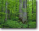 Stock photo. Caption: Yellow poplars Joyce Kilmer Memorial Loop Trail Joyce Kilmer-Slickrock Wilderness Nantahala National Forest Appalachian Mountains, North Carolina -- Unicoi Mountains poplar wildernesses forests memorial loop loops trees tree virgin original hardwood hardwoods southeast southeastern united states america spring old growth ancient appalachia states