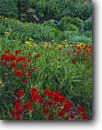 Stock photo. Caption: Scarlet paintbrush, orange sneezeweed,  Lewis