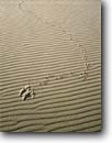 Stock photo. Caption: Raven tracks Umpqua Scenic Dunes Oregon Dunes National Recreation Area Oregon -- united states america dune sand sandy encroaching advance advancing  shift shifting track animal bird artistic design designs rippled ripples signs tracking areas search searching truth wander wanderer two point landing landings