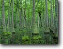 Stock photo. Caption: Water tupelo in hardwood bottomland Cherokee Plantation ACE Basin Colleton County,  South Carolina -- united swamps trees deep south southern states ancient forest forests trunks trunk water habitat bottomlands swamp tree trees tupelos deciduous Nyssa aquatica cottongum sourgum, tupelo-gum water-gum america