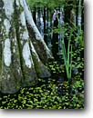 Stock photo. Caption: Blue flag iris and bald cypress Cherokee Plantation ACE Basin South Carolina -- Keywords: united irises cypresses swamp swamps bottomland bottomlands wildflower wildflowers flowers tree trees deep south southern states america  colleton county virginica spring summer Taxodium distichum Baldcypress detail details closeups closeup
