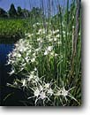 Stock photo. Caption: Rocky shoals spider lily Combahee River ACE Basin Colleton County, South Carolina -- Keywords: flowers wildflower wildflowers lilies rivers parks southern southeastern southeast united states america summer spring Hymenocallis coronaria wetland wetlands swamp swamps swampy