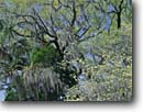 Stock photo. Caption: Flowering dogwood and live oak with spanish moss Cheeha-Combahee Plantation ACE Basin Colleton County, South Carolina -- united deep south southern southeastern states america ecosystem ecosystems spring summer tree trees hardwood forest forests dogwoods Cornus florida tree trees