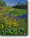 Stock photo. Caption: Tickseed and water hyacinth Ashepoo River ACE Basin Colleton County, South Carolina -- united deep south southern states america creeks river rivers lowcountry swampy swamp swamps pristine estuarine estuary estuaries unspoiled ecosystem ecosystems spring summer lowland lowlands lance-leaved Coreopsis lanceolata crassipes Eichhornia invasive