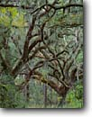 Stock photo. Caption: Southern live oak Jehossee Island in the Edisto River ACE Basin Colleton County, South Carolina -- Keywords: united deep south southern states america lowcountry  pristine unspoiled ecosystem ecosystems pattern patterns islands Quercus virginiana  oaks tree trees evergreen evergreens  strength endurance branches branching dense forest forests hardwood hardwoods