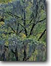 Stock photo. Caption: Flowering dogwood and Spanish moss Cheeha-Combahee Plantation ACE Basin Colleton County,  South Carolina -- Keywords: united deep south southern states america lowcountry unspoiled ecosystem ecosystems trees pattern patterns dogwoods tree flowering spring summer Cornus florida hardwood hardwoods forest forests