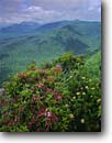 Stock photo. Caption: Mountain laurel Caesars Head State Park Mountain Bridge Wilderness South Carolina -- Keywords: kalmia latifolia Spoonwood southern southeastern appalachian mountains summer shrubs flowers wildflowers parks landscape landscapes united states america hazy vista vistas view views vast distance wildernesses verdant sweeping