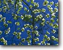 Stock photo. Caption: Flowering dogwood Table Rock   State Park Mountain Bridge Wilderness Pickens County, South Carolina -- Keywords: united states america parks blue skies tree trees detail flowers flower flowering dogwoods bloom blooming branch branches artistic nature southeast southern southeastern spring daylight background backgrounds balance growth Cornus florida