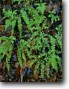 Stock photo. Caption: Northern maidenhair ferns   along the Eastatoe River Pickens County South Carolina -- united states america south southern southeastern states southeast mountains appalachian fern lacey pattern patterns spring Adiantum pedatum dtail details closeup closeups forest floor floors