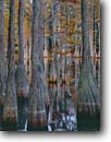 Stock photo. Caption: Pond cypress sinkhole Francis Marion National Forest Berkeley County South Carolina -- united swamps trees deep south southern states parks moody virgin old growth ancient forest forests cypresses trunks trunk water habitat  buttress buttresses swampy wetland wetlands knees knee Taxodium distichum fall autumn