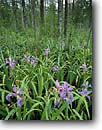 Stock photo. Caption: Blue flag iris near Wambaw Creek Francis Marion National Forest Charleston County South Carolina -- united states america green marsh marshy habitat spring flowers flower iris wildflower wildflowers missouriensis sweet forest plants native riparian habitat