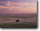Stock photo. Caption: Buffalo  (American bison)   and short grass prairie Badlands National Park Great Plains,  South Dakota -- united states america native wildlife prairies parks symbol alone solitude strong strength vulnerable nearly extinct rare adversity power powerful silhouette animal animals symbol symbols mammals mammal lonely loneliness empty emptiness