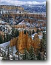 Stock photo. Caption: Ponderosa pines Bryce Canyon National Park Colorado Plateau Utah -- united states america tree trees pine sandstone parks red rock country landscape landscapes travel tourist destination destinations solitude tenacity plateaus spire spires hoodoo hoodoos snow snowfall canyons winter storm fresh wintery Paunsaugunt