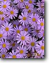 Stock photo. Caption: Utah daisy Burr Trail Capitol Reef National Park Colorado Plateau, Utah -- wildflower wildflower flower flowers united states america country parks purple daisys daisies faces fresh floral Erigeron utahensis background backgrounds lavendar yellow spring detail details closeup closeups desert deserts