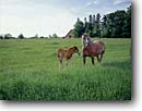 Stock photo. Caption: Belgian mare and foal Washington Island Door County Wisconsin -- Keywords: landscape landscapes scenic scenics scene barns building buildings sunny clear blue skies summer wooden pastoral rural heritage agriculture domestic animals animal serene domesticated horse horses babies baby cute country livestock great lakes