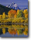 Stock photo. Caption: Aspens at Oxbow Bend Snake River and the Grand Teton Grand Teton National Park Rocky Mountains,  Wyoming -- united states america snow peak aspens fall autumn color colors range parks aspen trees tree ranges peaks mountain majestic landscape landscapes strength tourist travel vacation destination destinations grandeur dramatic rockies crisp clean clarity jagged