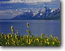 Stock photo. Caption: Five-veined helianthella on shore of   Jackson Lake and the Grand Teton Grand Teton National Park Rocky Mountains,  Wyoming -- america parks Helianthella quinquenervis wildflowers scenic peaks clouds flowers wildflower sunflower family lakes landscape landscapes tourist travel vacation destination destinations placid dramatic clear sweet excellence summer composite sunflowers