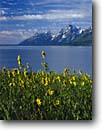 Stock photo. Caption: Five-veined helianthella  Jackson Lake   Grand Teton National Park  Rocky Mountains,  Wyoming -- united states america parks Helianthella quinquenervis wildflowers scenic peaks clouds flowers  wildflower sunflower family lakes landscape landscapes tourist travel vacation destination destinations placid dramatic clear sweet excellence summer composite