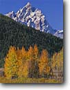 Stock photo. Caption: Aspens at Oxbow Bend   and the Grand Teton Grand Teton National Park Rocky Mountains,  Wyoming -- united states america snow peak aspen fall autumn color colors range parks  trees tree ranges peaks mountain majestic landscape landscapes strength tourist travel vacation destination destinations rockies crisp clean jagged colour colours deciduous