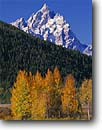 Stock photo. Caption: Aspens at Oxbow Bend   and the Grand Teton Grand Teton National Park Rocky Mountains,  Wyoming -- snow peak aspens fall autumn color colors range parks aspen trees tree ranges peaks mountains majestic landscape landscapes strength tourist travel destination destinations rockies crisp clean clarity jagged clear blue skies balance balanced tetons