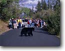 Stock photo. Caption: Black bear   entertaining tourists Grand Teton National Park Rocky Mountains,  Wyoming -- world heritage site sites parks  western landscape landscapes tourist travel destination destinations rockies animal animals bears habitat natural environment wild summer native trees crossing road roads people watching photographing crosses wildlife