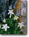 Stock photo. Caption: Colorado columbine Snowy Range Medicine Bow National Forest Rocky Mountains,  Wyoming -- columbines aquilegia caerulea flower flowers wildflowers wildflower subalpine forests united states america summer detail details closeup closeups rockies lichen lichens