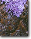Stock photo. Caption: Alpine phlox near Snowy Range Pass Snowy Range Medicine Bow National Forest Albany County,  Wyoming -- flower flowers wildflowers wildflower subalpine rocky mountains forests united states america summer detail details closeup closeups lichen lichens sibirica pulvinata phloxs phloxes pink rockies mountain artistic nature