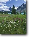 Stock photo. Caption: Cottongrass and elephantheads Bow Lake,  Banff National Park Rocky Mountains Alberta, Canada -- blue glacial lakes world heritage site sites parks mountain canadian rockies landscape landscapes tourist peace destination destinations powder peak peaks international travel  Pedicularis groenlandica meadow meadows cottongrasses majestic subalpine