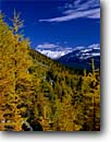 Stock photo. Caption: Subalpine larch & Pulsatilla Mountain Larch Valley above Moraine Lake Banff National Park,  Rocky Mountains Alberta,  Canada -- blue fall autumn color colors tree trees world heritage site sites parks mountain canadian rockies tourist travel high country destination destinations landscape landscapes larches snow backcountry conifer conifers deciduous Larix lyallii