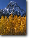 Stock photo. Caption: Black cottonwoods and Mt. Chephren  near Waterfowl Lakes, Icefields Parkway Banff National Park,  Rocky Mountains Alberta,  Canada -- fall autumn tree trees world heritage site sites parks mountain canadian rockies landscape landscapes tourist travel vacation holiday destination destinations peak peaks deciduous sites