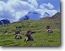 Stock photo. Caption: Bighorn sheep amd Mt. Athabasca Jasper National Park Rocky Mountains Alberta,  Canada -- world heritage site sites parks mountain canadian rockies tourist travelpeace destination destinations peak peaks international travel glacier big horn rams male mammal big game animal horns resting animals wildlife male males