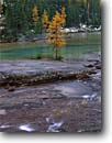 Stock photo. Caption: Subalpine larches along Opabin Creek Opabin Plateau,  Lake O