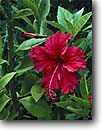 Stock photo. Caption: Red hibiscus Hurricane Hole Saint John United States  Virgin Islands -- caribbean tropical island destination destinations tourist protect protected united states protectorate travel vacation sunny warm cultivar flower flowers garden ornamental red hibiscuses gardens