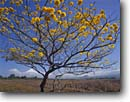 Stock photo. Caption: Flowering cortesa tree   near Guanacaste National Park Guanacaste Province Costa Rica -- trees central america tropical destination destinations travel tourist ecotourism parks international latin landscapes landscape scenics blue skies clear rican american