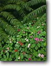 Stock photo. Caption: Impatiens and ferns Las Cruces Biological Station-Wilson Botanical Garden,  San Vito Puntarenas Province, Costa Rica -- Rainforest central america tropical destination destinations travel tourist rainforests gardens plants flower flowers spring detail details closeup closeups walleriana latin  rican american