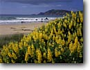 Stock photo. Caption: Yellow tree lupine   and Nugent Point Molyneaux Bay Southern Scenic Route South Island, New Zealand -- lupinus arboreus bush lupines points bays routes beach beaches pacific ocean oceans flowers flower wildflowers wildflower flowering south surf waves seascape seascapes south tourist travel destination destinations headland headlands