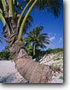 Stock photo. Caption: Coconut palm on Caribbean Sea Sian Ka