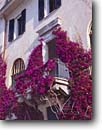 Stock photo. Caption: Bougainvillea Monterosso Cinque Terre National Park Italy -- international travel destination destinations vacation  architecture landscaping bougainvilleas vine vines italian parks facade europe