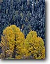 Stock photo. Caption: Aspens and spruces Inn River Valley near Guarda The Alps, Lower Engadin Graubunden Canton, Switzerland -- alps rural europe european forest forests colour colours color colors trees tree snow fall autumn