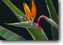 Stock photo. Caption: Bird of paradise -- tropical plants plant flower flowers exotic warm colorful colourful garden gardens gardening unusual birds detail details closeup closeups