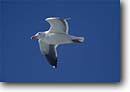 Stock photo. Caption: Western gull San Francisco Bay San Francisco County California -- Keywords: united states america bird birds seagulls seagull blue sky flying flight free jonathon livingston wildlife sunny clear blue sky skies Larus occidentalis marine environment seabird seabirds flight