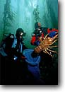 Stock photo. Caption: California spiny lobster   in giant kelp forest San Clemente Island, Channel Islands Eastern Pacific Ocean,  California -- scuba diving underwater  diver divers capture harvesting catch catching shellfish shellfishes scuba diving underwater detail details closeups closeup lobsters crustacean crustaceans claw claws Panulinus interruptus united states america aquatic invertebra