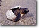 Stock photo. Caption: Loggerhead turtle (endangered) Juno Beach Palm Beach County Atlantic Coast,  Florida -- united states america baby sand sandy turtles beaches ocean escaping escape hatchlings freedom species animal animals caretta unbury egg eggs hatching babies hatch hatches prehistoric alone free finally births birth emergence emerging reptile reptiles
