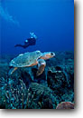 Stock photo. Caption: Loggerhead turtle Singer Island Palm Beach County Atlantic Coast, Florida  --   turtles underwater scuba diving tropical oceans parks united states america endangered species careeta diver divers animal animals people sealife saltwater reptile reptiles primal swimming swimmer swim