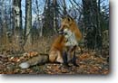 Stock photo. Caption: Red fox Isle Royale National Park Michigan -- wildlife united states animal animals mammals mammal america american wild foxes parks crazy furry parks habitat pretty wiley