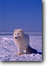 Stock photo. Caption: Arctic fox         C.A.    on snow drifted ice  -- mammal mammals hunting hunter snow winter cold united states america fur bearing foxes foxs white adapted adaptation camouflage camouflaged animal animals captive curious curiosity cute clear sunny blue skies landscape landscapes